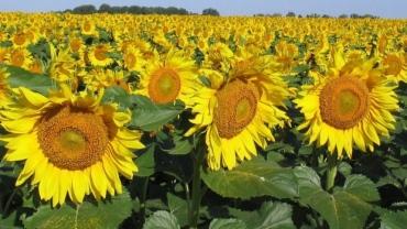 sunflower-7989154
